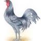 Delaware State Bird: Blue Hen.